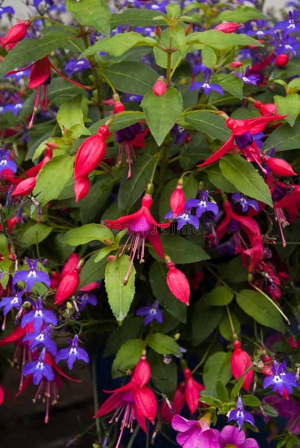 Fuchsia och lobelia royaltyfri bild