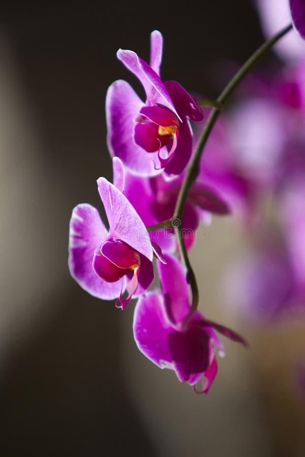 Free Fuchsia Orchid Stock Image - 14109901