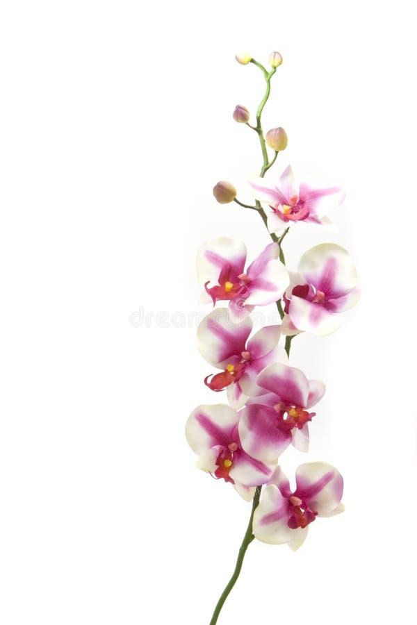 fuchsia orchid fotografering för bildbyråer