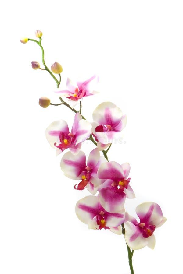 fuchsia orchid royaltyfria foton