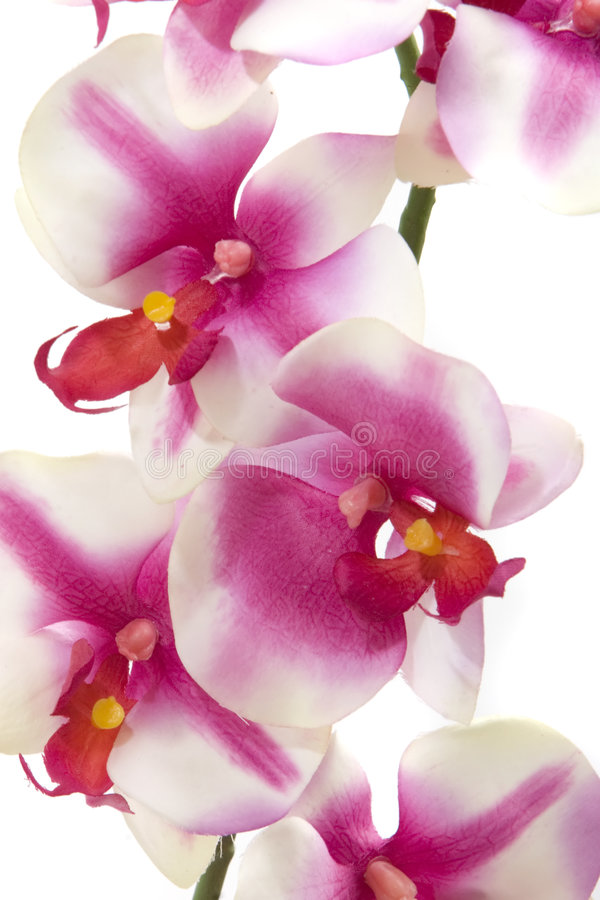 fuchsia orchid arkivfoton