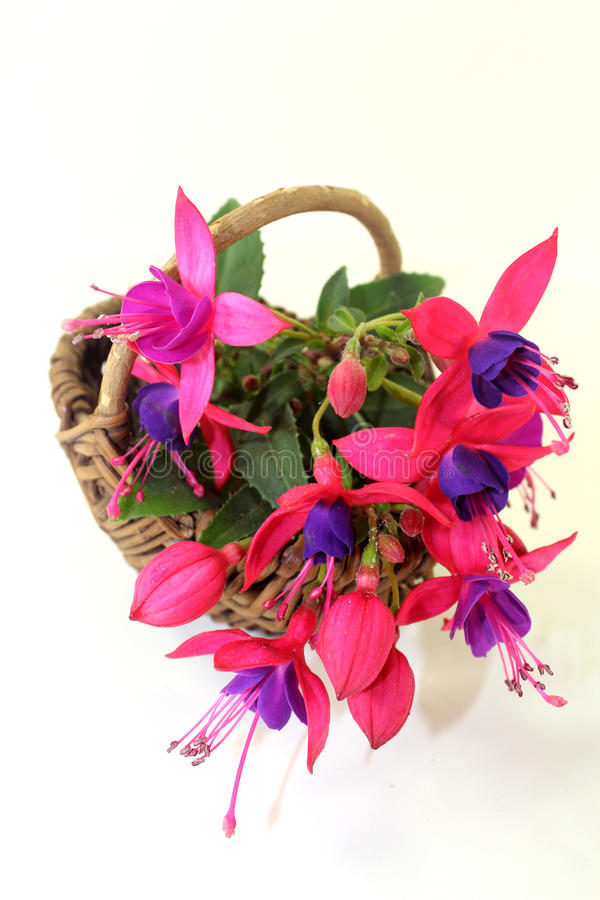 fuchsia stock photo image of garden nature plant