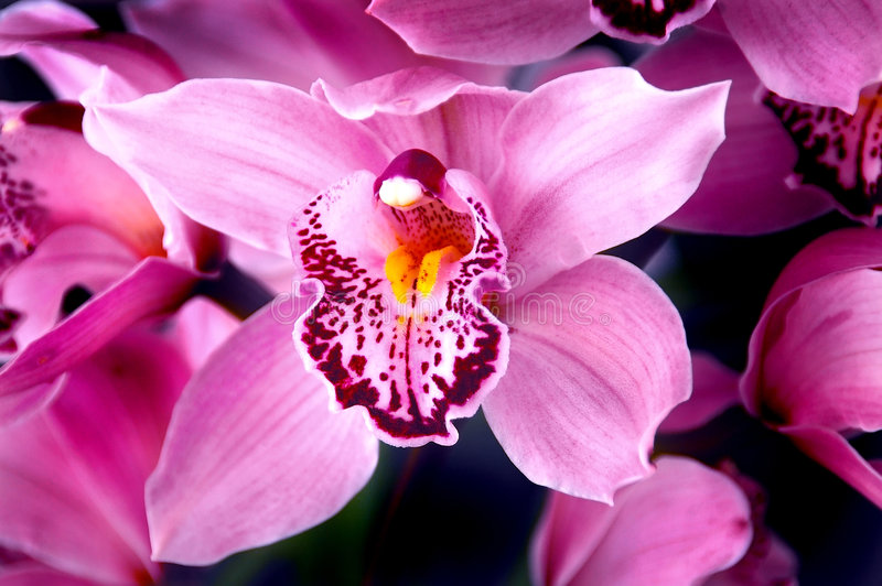 Fuchsia Pink Orchids stock photos