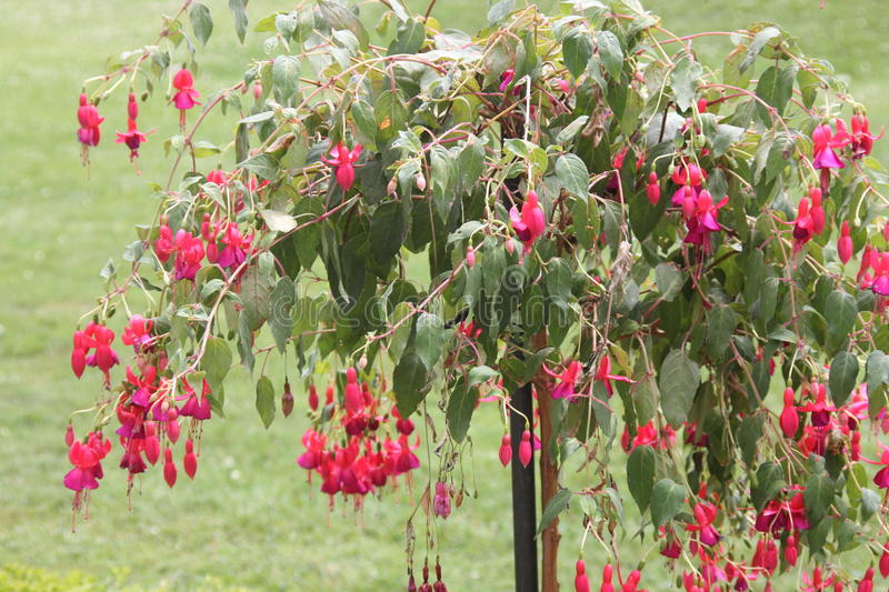 Fuchsia tree with red flowers stock photo image of bloom green download fuchsia tree with red flowers stock photo image of bloom green 96150724 mightylinksfo
