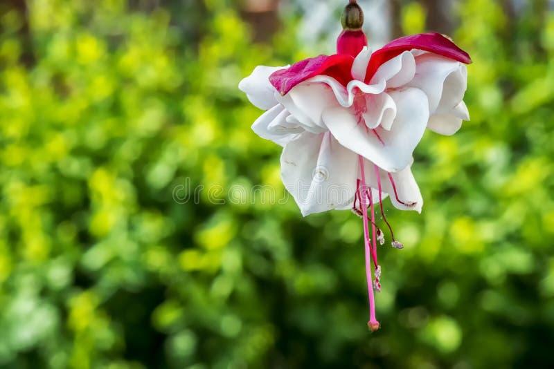 Fuchsiablommaväxt arkivbild