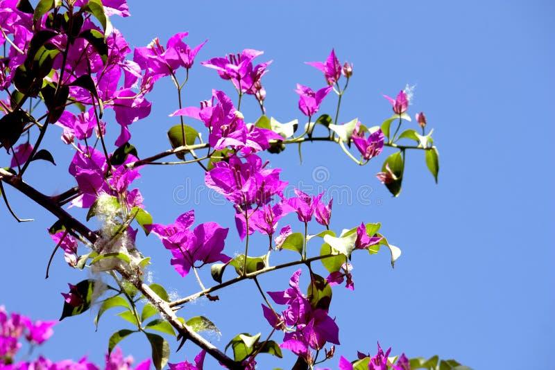 Fuchsiabougainvilleabuske Med klar blå daghimmelbakgrund royaltyfri bild