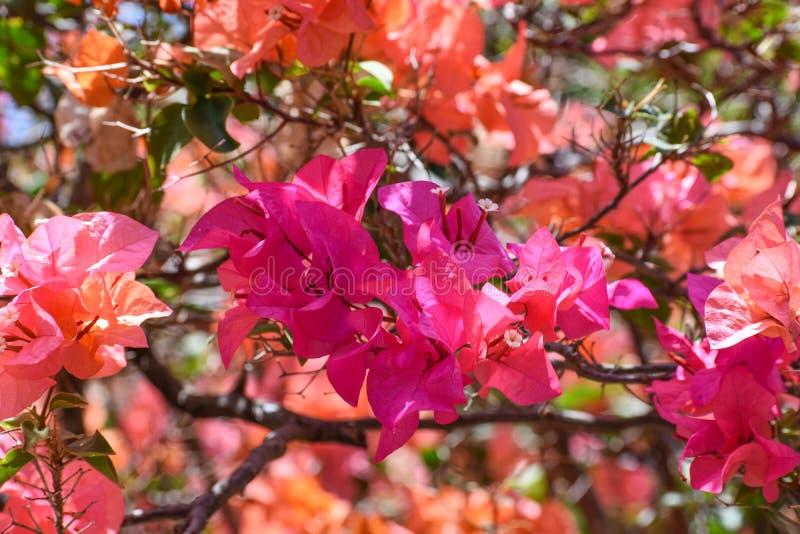 Fuchsiakleurig Bouganvillea-Bloemen royalty-vrije stock afbeelding
