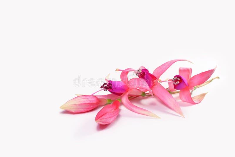 Fuchsian blommar med knoppar arkivbild