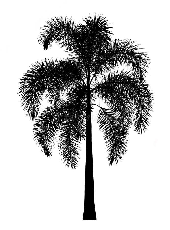 Fuchsschwanzpalmenschattenbild lokalisiert auf Weiß stockfotos