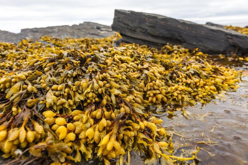 Fuco (rockweed) na península de Rybachy fotografia de stock royalty free