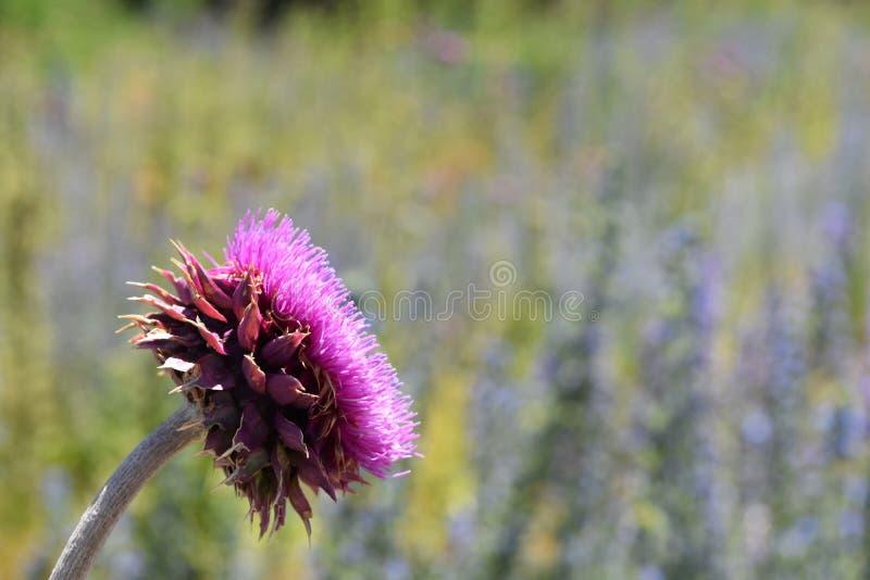 Fucsia del fiore nel giardino fotografia stock libera da diritti