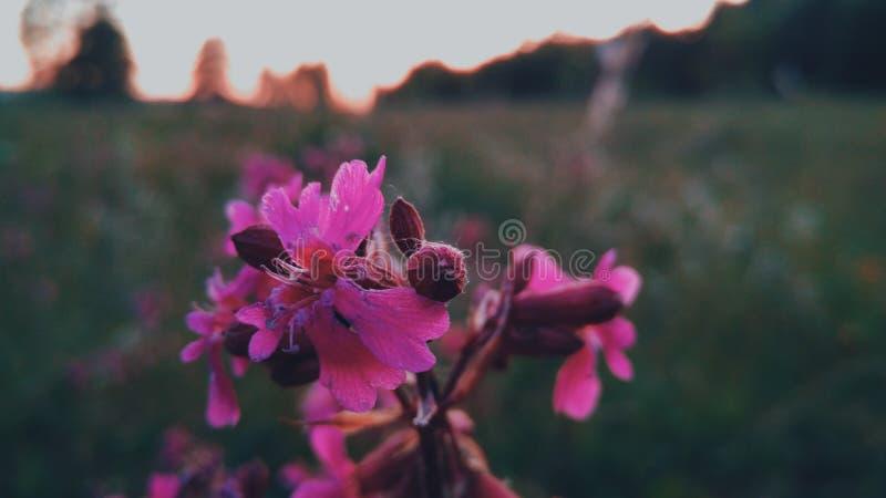Fucsia kwiat zdjęcia stock