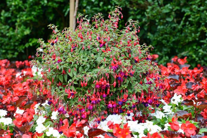 Fucsia w pełnym kwiacie przy wzrostem lato w Angielskim ogródzie zdjęcie stock