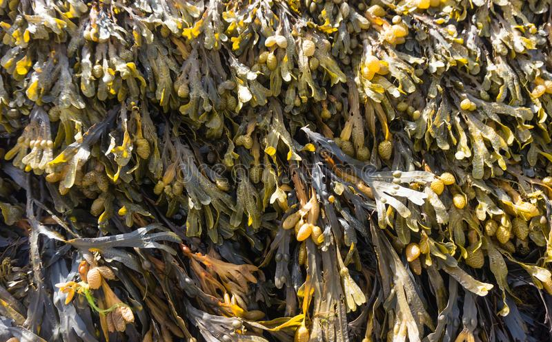 Fucus vesiculosus is a genus of brown algae found on the rocky seashores worldwide. Used in medicine and as a food supplement royalty free stock image