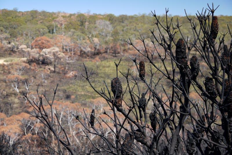 Fuego de Australia arbusto: ladera quemada con los seedpods del banksia foto de archivo