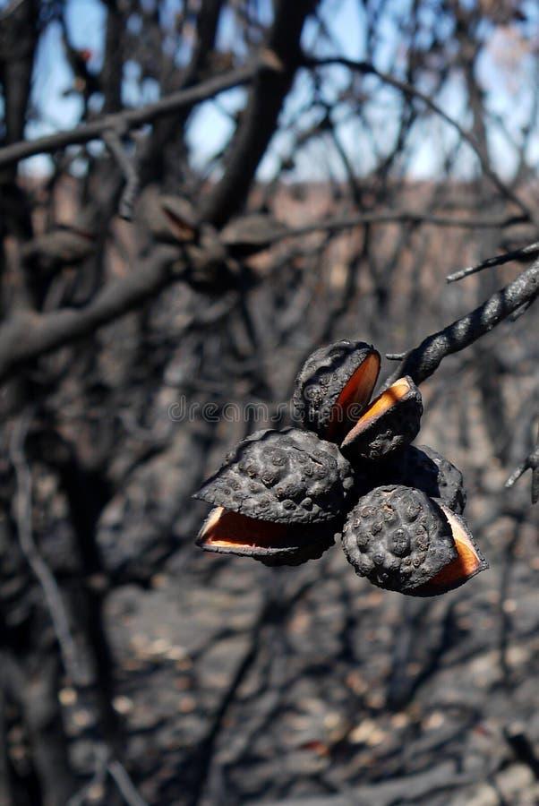 Fuego de Australia arbusto: seedpods quemados del hakea cercanos foto de archivo libre de regalías