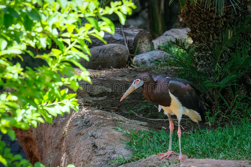 FUENGIROLA, ANDALUCIA/SPAIN - JULY 4 : Abdim`s Stork in the Biop stock photos