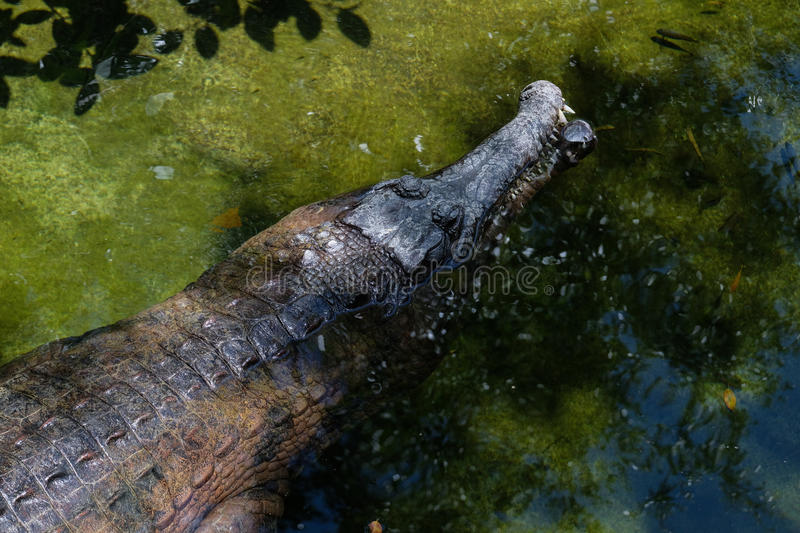 FUENGIROLA, ANDALUCIA/SPAIN - JULY 4 : Tomistoma Tomistoma schl. Egelii Resting at the Bioparc Fuengirola Costa del Sol Spain on July 4, 2017 royalty free stock photography