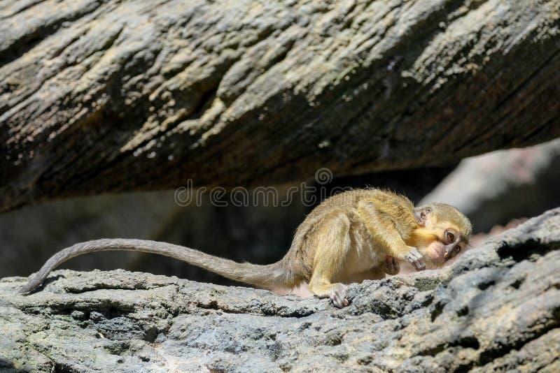 FUENGIROLA, ANDALUCIA/SPAIN - LIPIEC 4: Koczkodan Małpi Miopithe obraz stock
