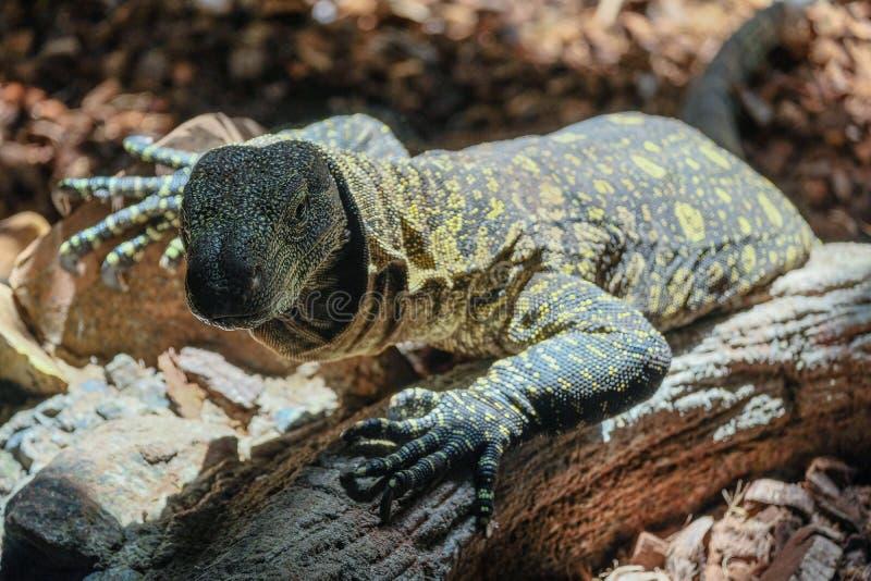 FUENGIROLA, ANDALUCIA/SPAIN - LIPIEC 4: Monitor jaszczurka przy Życiorys fotografia stock