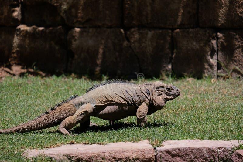 FUENGIROLA, ANDALUCIA/SPAIN - LIPIEC 4: Nosorożec iguana Cyclur zdjęcie royalty free