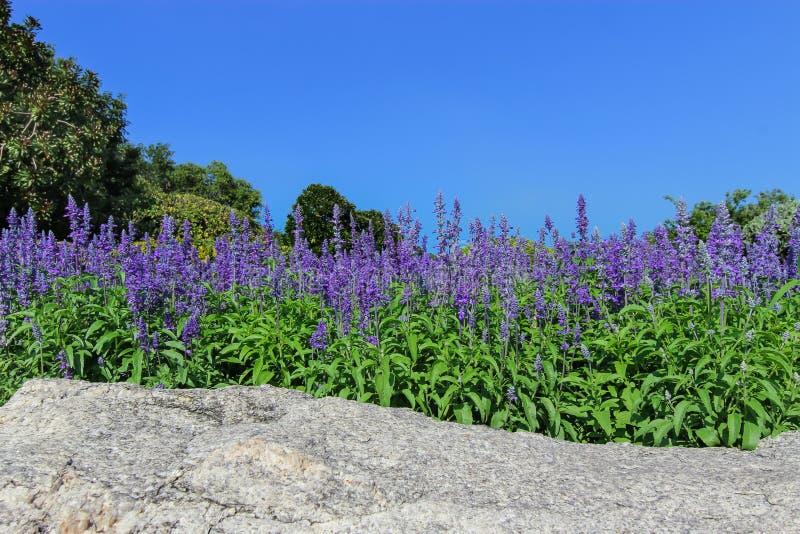 Fuente de la flor - flor azul de Salvia imagen de archivo libre de regalías