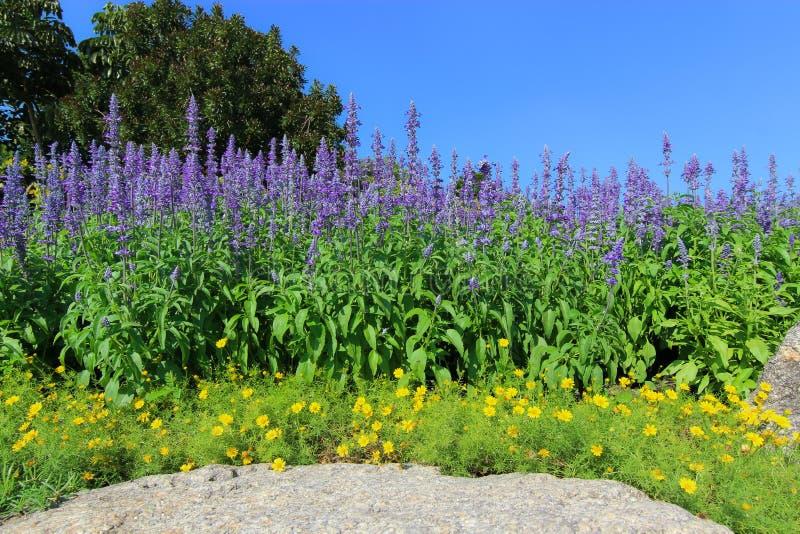 Fuente de la flor - flor azul de Salvia imágenes de archivo libres de regalías