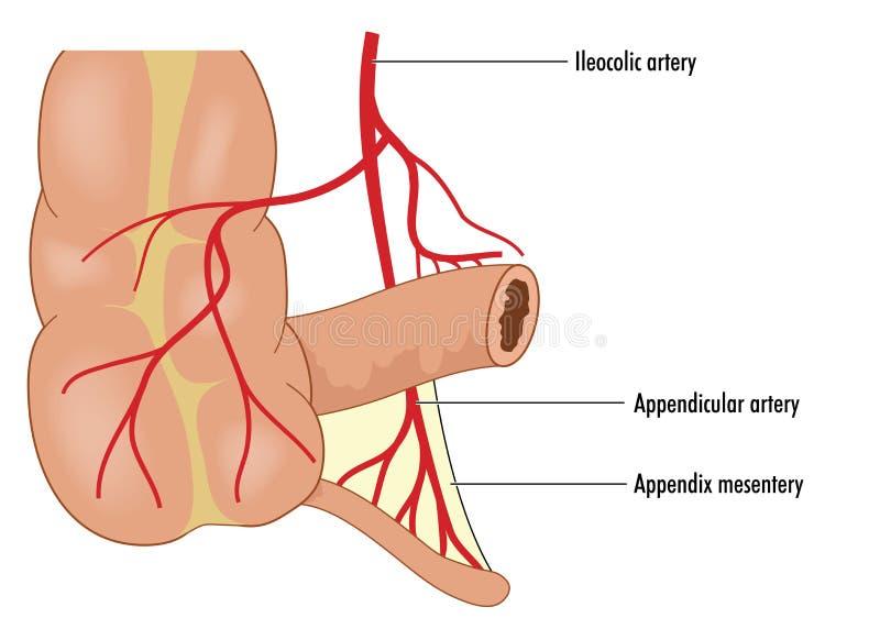 Fuente de sangre apendicular libre illustration