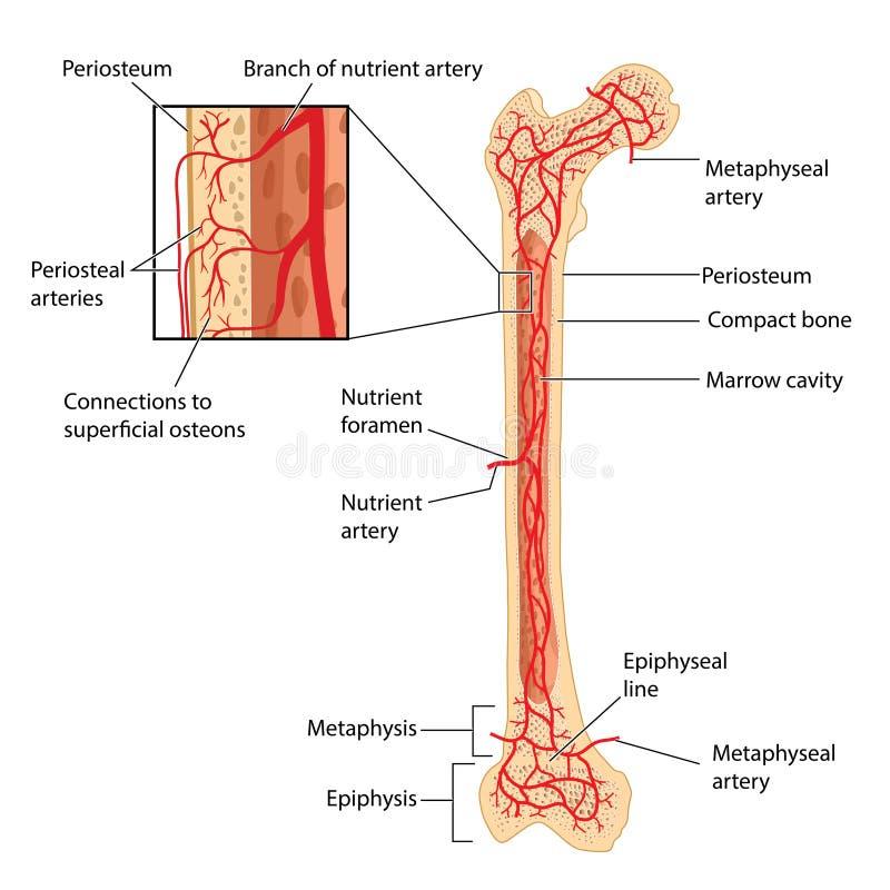 Fuente de sangre femoral ilustración del vector