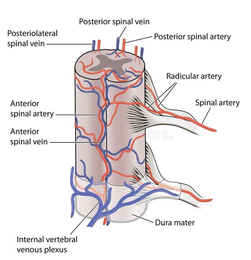 Fuente de sangre a la médula espinal stock de ilustración