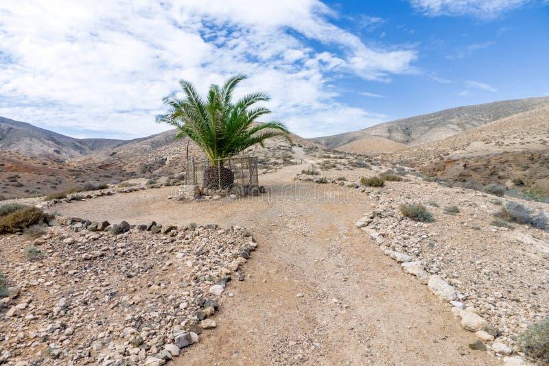 Fuerteventura - Enige palm in het Cardon-massief stock afbeeldingen
