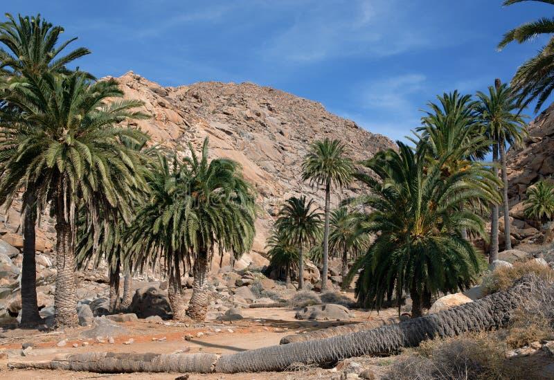 Fuerteventura - Palmen in Barranco DE las Penitas royalty-vrije stock afbeeldingen