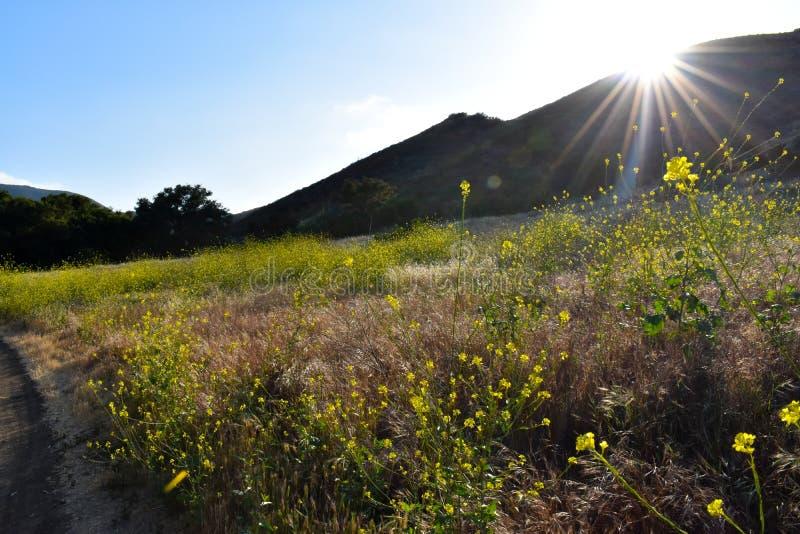 Fuga ao longo de um campo de florescência da mostarda imagem de stock royalty free