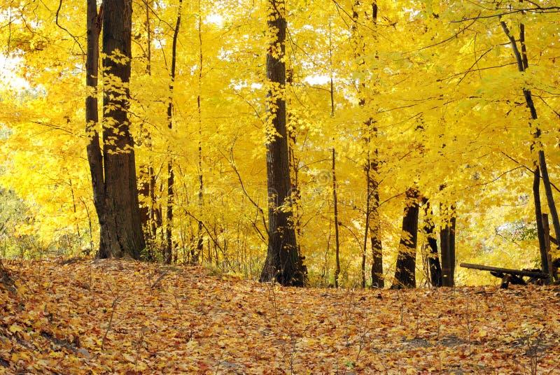 Fuga através das árvores amarelas do outono foto de stock royalty free