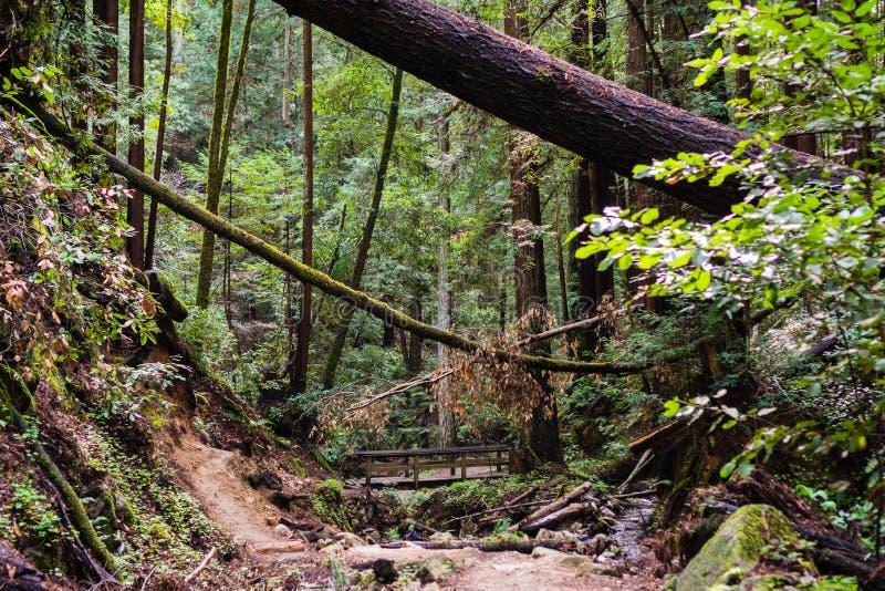 Fuga através das florestas de Henry Cowell State Park, montanhas de Santa Cruz, Felton, área de San Francisco Bay, Califórnia imagens de stock royalty free