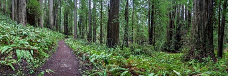 Fuga através das sequoias vermelhas Pano imagem de stock royalty free