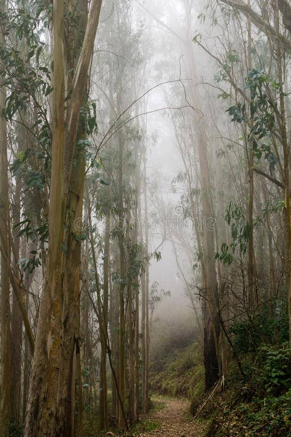 Fuga através de uma floresta do eucalipto tragada na névoa, San Pedro Valley County Park, área de San Francisco Bay, Califórnia imagens de stock