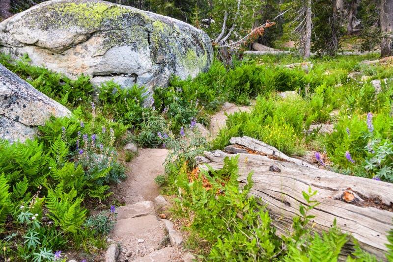 A fuga de caminhada bonita alinhou com samambaias verdes e os wildflowers de prata do lupine imagem de stock royalty free