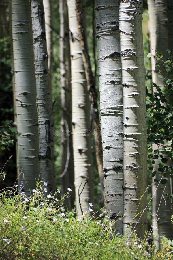 Fuga de caminhada bonita da montanha através de Aspen Trees de Vail Colorado imagem de stock