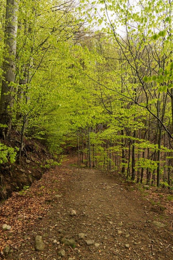 A fuga de caminhada na floresta decíduo da primavera fresca grita o monte de Velka Cantoryje em montanhas de Slezske Beskydy na r imagens de stock