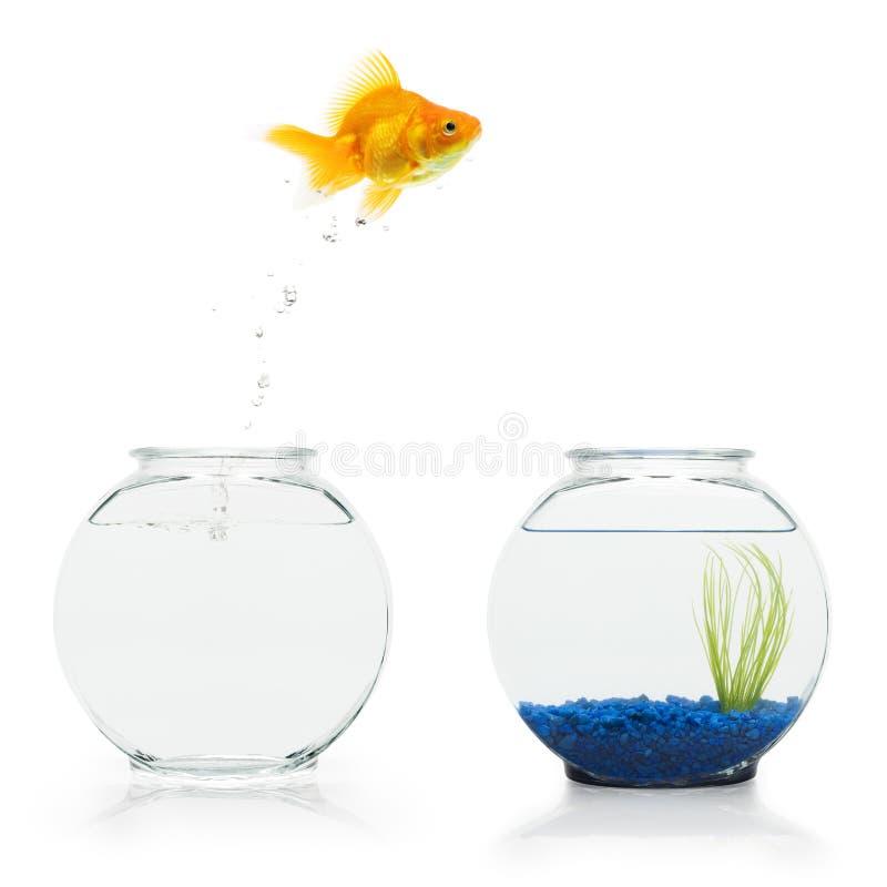 Fuga del Goldfish fotografie stock