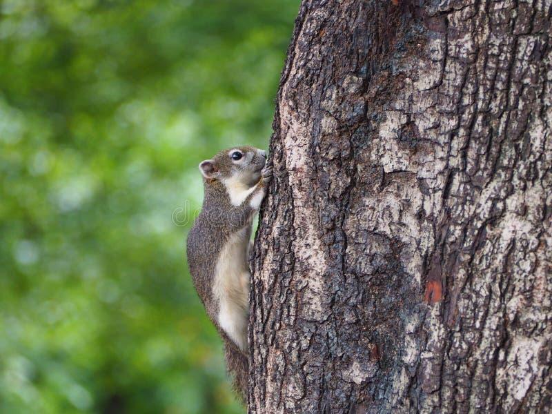 Fuga dello scoiattolo del bambino all'albero fotografia stock libera da diritti