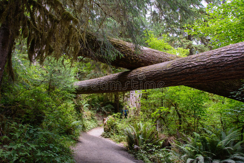 Fuga em Hoh Rainforest, parque nacional olímpico, Washington EUA fotografia de stock