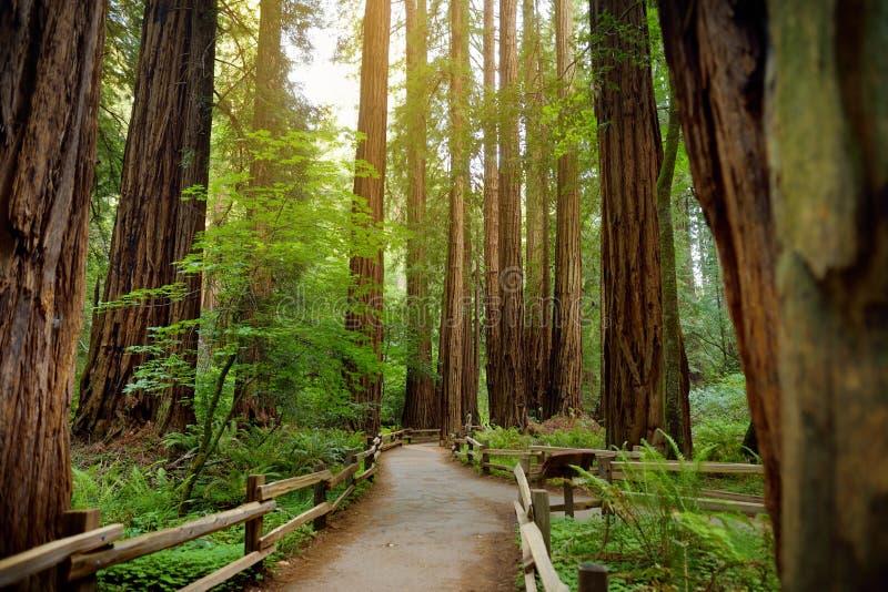 Fugas de caminhada através das sequoias vermelhas gigantes na floresta de Muir perto de San Francisco, Califórnia imagens de stock