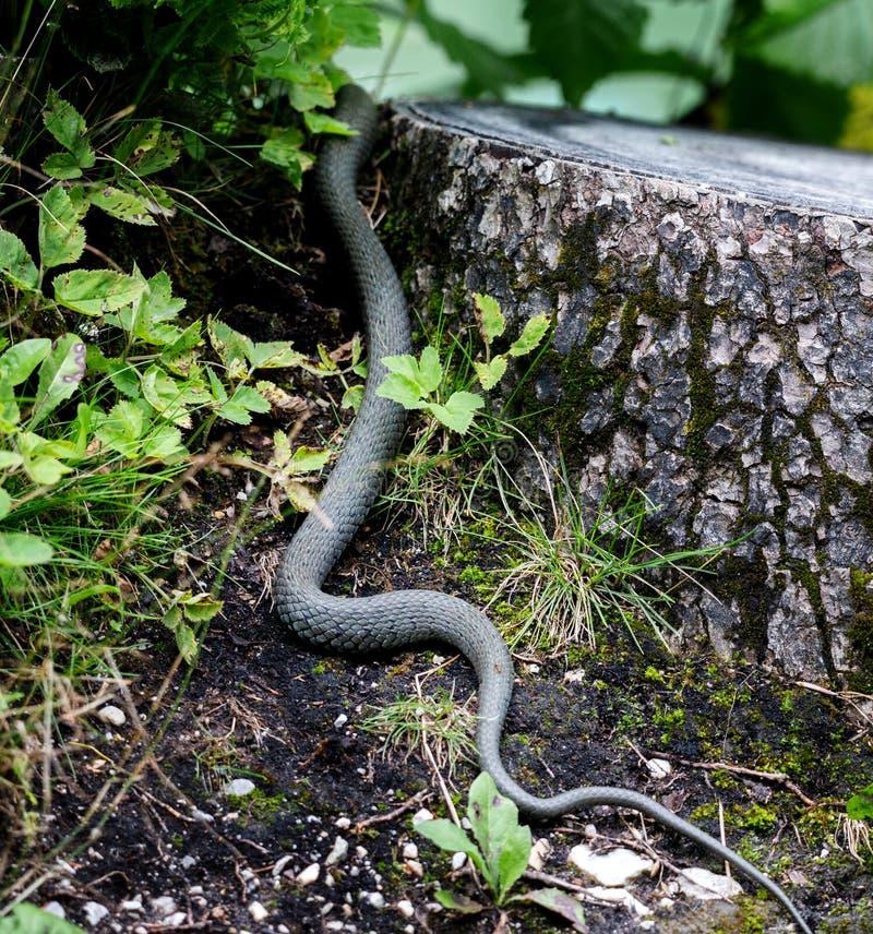 Fughe del serpente verde dalla macchina fotografica nel legno immagine stock libera da diritti