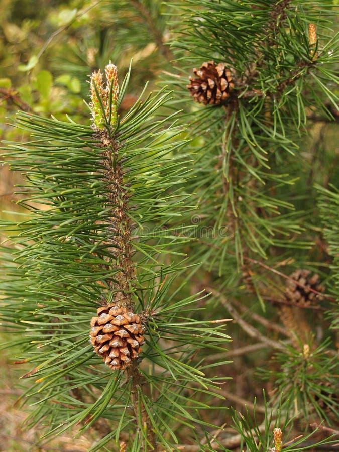 Fughe di un ordinario del pino con i coni ed il pinus sylvestris dei reni fotografie stock