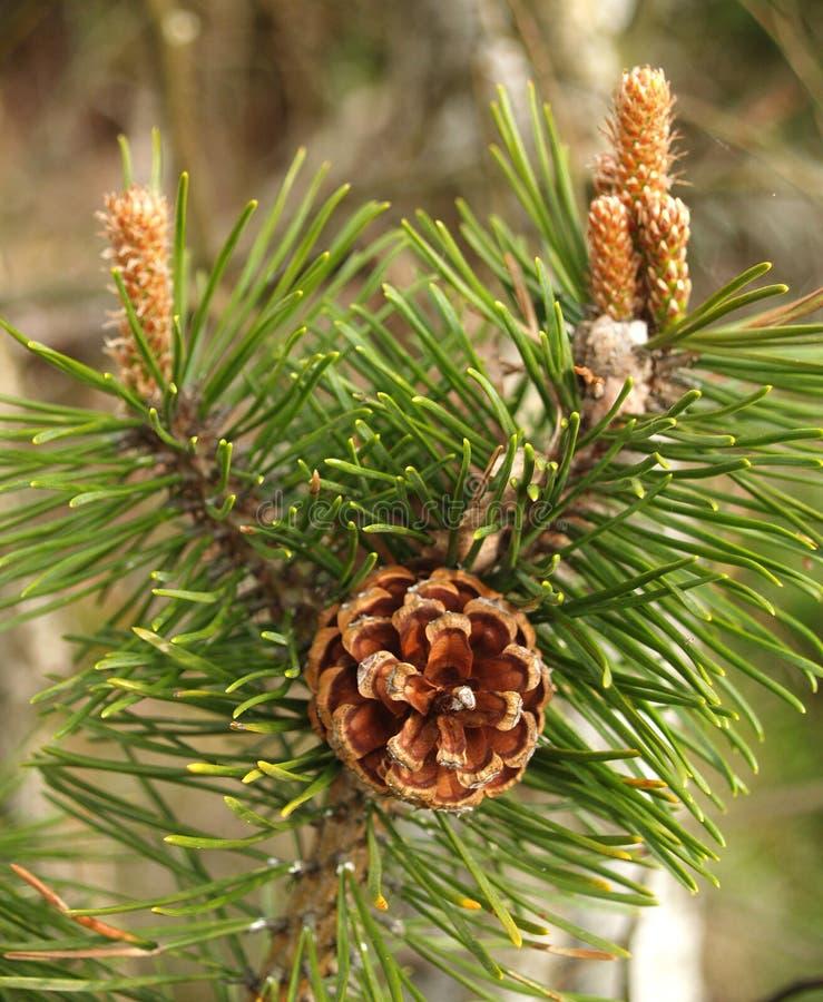 Fughe di un ordinario del pino con i coni ed il pinus sylvestris L dei reni fotografia stock libera da diritti