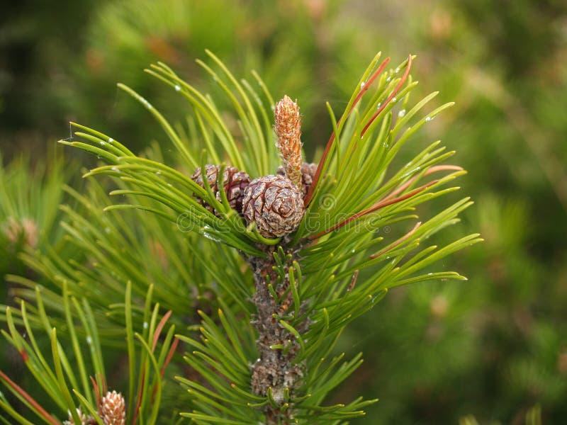 Fughe di una montagna del pino con i coni ed i reni (pinus mugo Tu fotografia stock libera da diritti