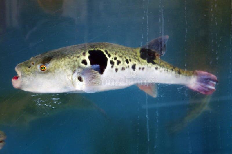 Fugu w Fishtank obraz stock