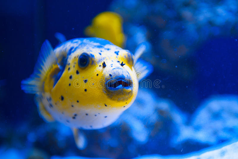 Fugue yellow fish predator of the Red Sea royalty free stock image